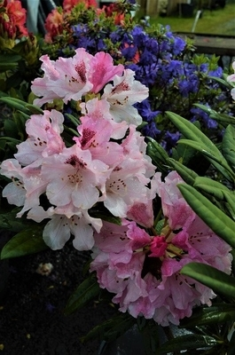 Rhododendron 'Noble Mountain'