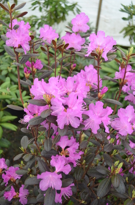 Rhododendron 'Black Satin'