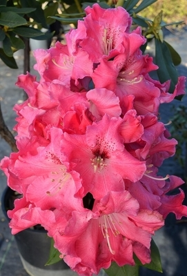 Rhododendron 'Pride of Roseburg'