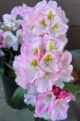 Rhododendron 'Rosewine'