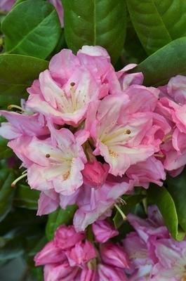 Rhododendron 'Scintillation'