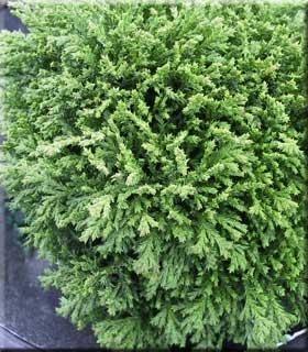 Chamaecyparis pisifera 'Tsukomo' | Conifers