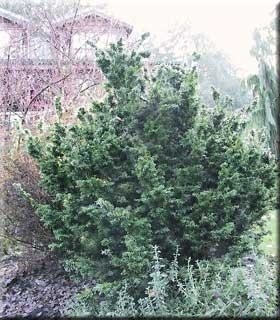 Tsuga canadensis 'Jervis' | Conifers