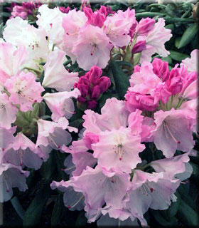 Rhododendron 'Crete' | Rhododendrons (Hybrids & species)