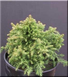 Cryptomeria japonica 'Koshyi' | Conifers