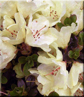 Rhododendron 'Wren' | Rhododendrons (Hybrids & species)