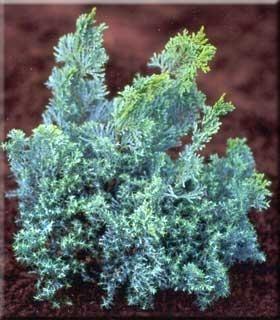 Chamaecyparis obtusa 'Splitrock' | Conifers