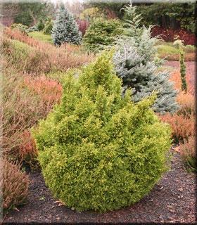 Chamaecyparis pisifera 'Juniperoides Aurea' | Conifers