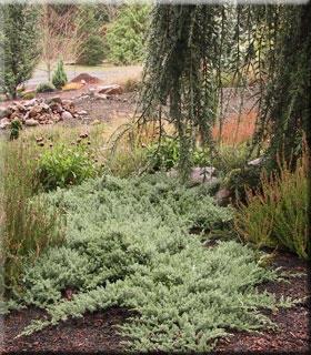 Juniperus procumbuns 'Nana' | Conifers
