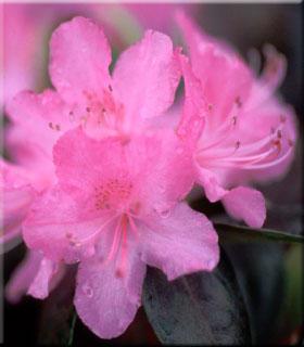 Rhododendron 'Olga Mezitt' | Rhododendrons (Hybrids & species)