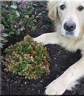 Buxus microphylla 'Morris Midget' | Deciduous & Evergreen Shrubs