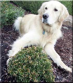 Buxus microphylla 'Compacta' | Deciduous & Evergreen Shrubs