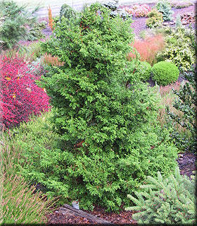 Chamaecyparis obtusa 'Rashamiba' | Conifers
