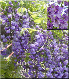 Wisteria floribunda 'Black Dragon'  | Wisteria and Vines