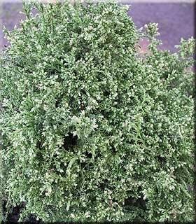 Chamaecyparis pisifera 'Snow' | Conifers