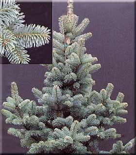 Abies lasiocarpa var. arizonica 'Glauca Compacta' | Conifers