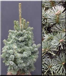 Abies magnifica 'Nana' | Conifers