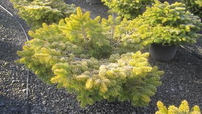 Abies nordmanniana 'Golden Spreader' | Conifers