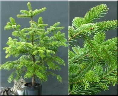 Abies nordmanniana | Conifers