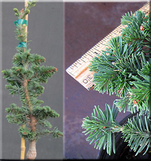 Abies procera 'Rick's Foxtail' | Conifers