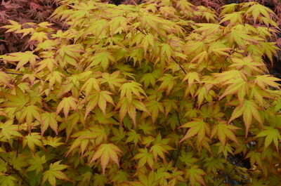Acer palmatum 'Akane' | Japanese Maples, Ornamental Trees