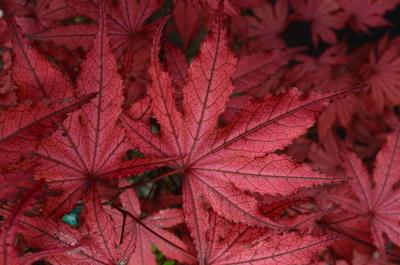 Acer palmatum 'Amagi shigure' | Japanese Maples, Ornamental Trees