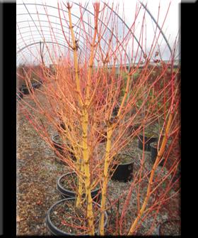 Acer palmatum 'Bihou' | Japanese Maples, Ornamental Trees
