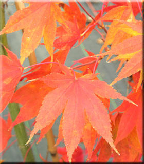 Acer palmatum 'Hogyoku' | Japanese Maples, Ornamental Trees