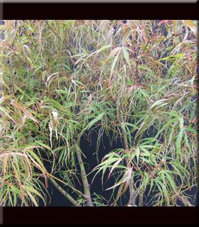 Acer palmatum 'Koto no ito' | Japanese Maples, Ornamental Trees