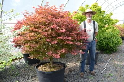 Acer palmatum 'Rhode Island Red'   Japanese Maples, Ornamental Trees