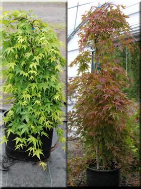 Acer palmatum 'Ryusen' | Japanese Maples, Ornamental Trees