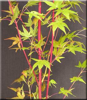 Acer palmatum 'Beni kawa' | Japanese Maples, Ornamental Trees