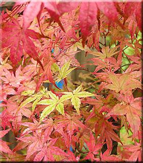 Acer palmatum 'Beni maiko' | Japanese Maples, Ornamental Trees