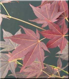 Acer palmatum 'Tsukushi gata' | Japanese Maples, Ornamental Trees