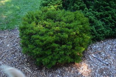 Azalea 'Rinpu' | Evergreen Azaleas