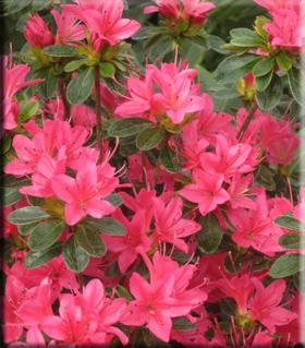 Azalea 'Sun Star' | Evergreen Azaleas