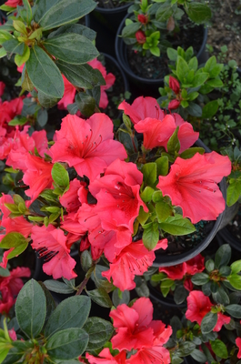 Azalea 'Vuyk's Scarlet' | Evergreen Azaleas