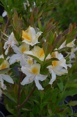 Azalea 'Northern Hi-Lights' | Deciduous Azaleas