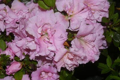 Azalea 'Betty Ann Voss' | Evergreen Azaleas