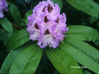 Rhododendron 'Blue Peter' | Rhododendrons (Hybrids & species)