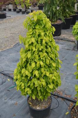 Carpinus betulus 'Columnaris Nana' | Japanese Maples, Ornamental Trees