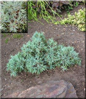 Cedrus deodara 'Pygmaea' | Conifers