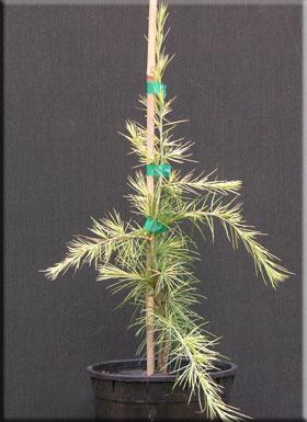Cedrus deodara 'Silver Mist' | Conifers