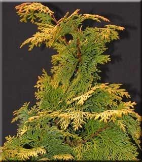 Chamaecyparis obtusa 'Aurea' | Conifers