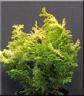 Chamaecyparis obtusa 'Sunspray' | Standards