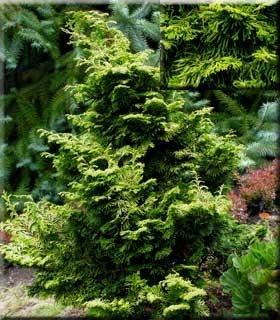 Chamaecyparis obtusa 'Verdoni' | Conifers