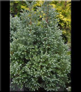 Chamaecyparis pisifera 'Baby Blue Ice' | Conifers