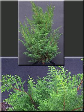 Chamaecyparis thyoides 'Shiva' | Conifers
