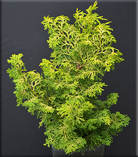 Chamaecyparis obtusa 'Rainbow' | Conifers