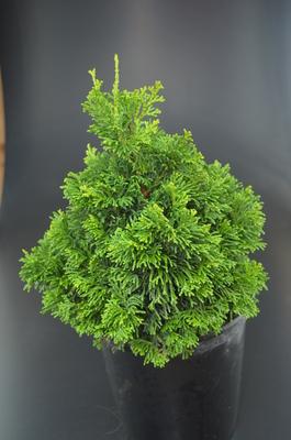 Chamaecyparis obtusa 'Stoneham' | Conifers